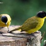 viaje ornitológico a Sri Lanka-Bulbul cabecinegro