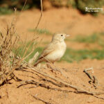 Bar tailed lark-birding trip report Morocco