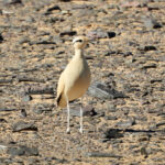Cream colour courser-birding trip report Morocco