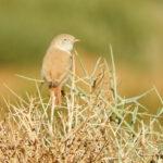 Curruca sahariana-Crónica del viaje ornitológico a Marruecos