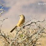 Fulvous Babbler-birding trip report Morocco