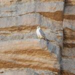Lanner Falcon-birds Sahara