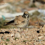Thick billed lark-birding trip report Morocco