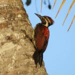 Viaje ornitológico a Sri Lanka-Pito malabar