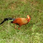 crónica del viaje ornitológico a Sri Lanka