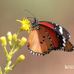 Spanish butterflies in Valencia Region