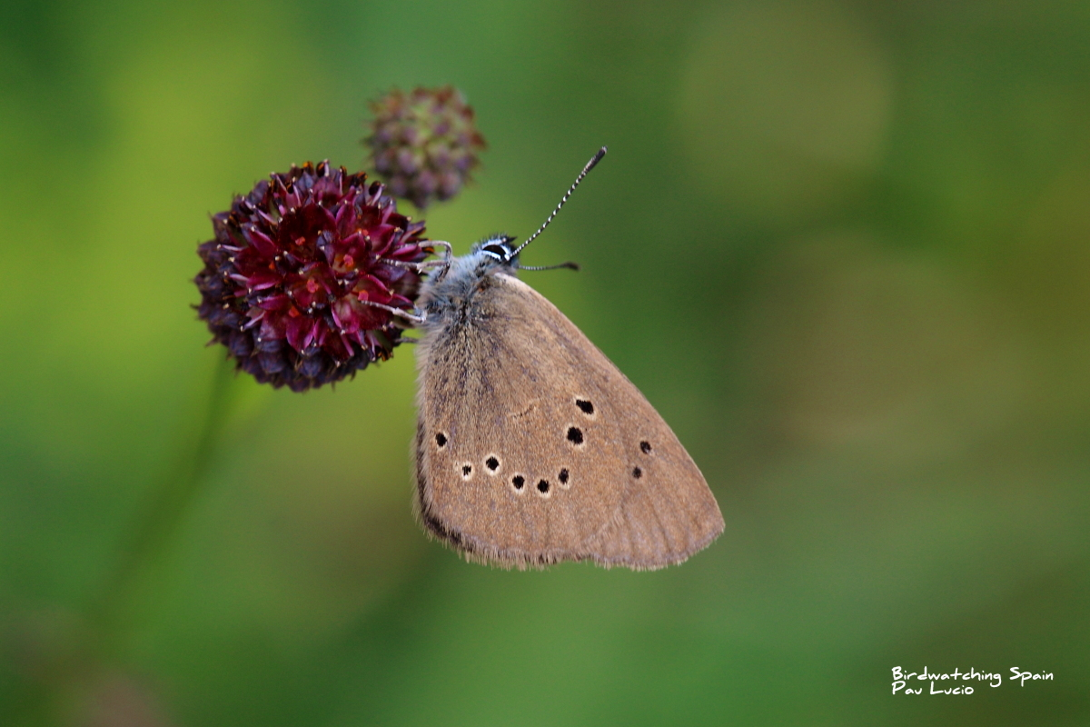 Dusky-large blue-wildlife report