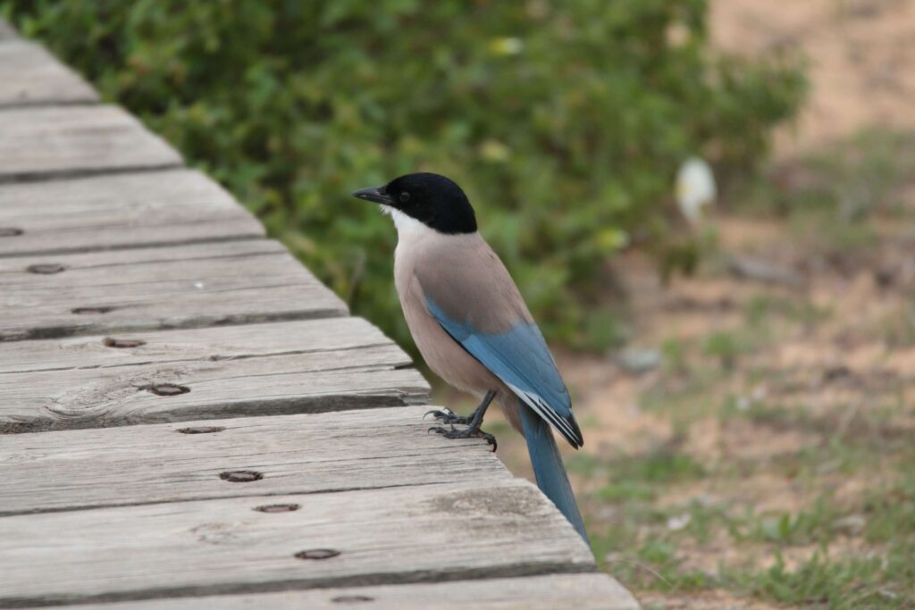 azure-winged-magpie