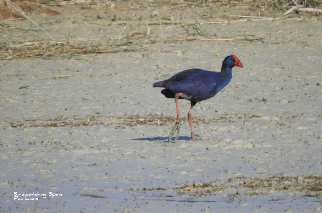 bird watching tour-Purple swamp hen