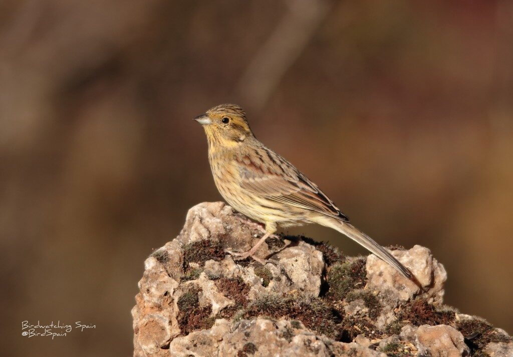 Cirl bunting-photography hide in Spain
