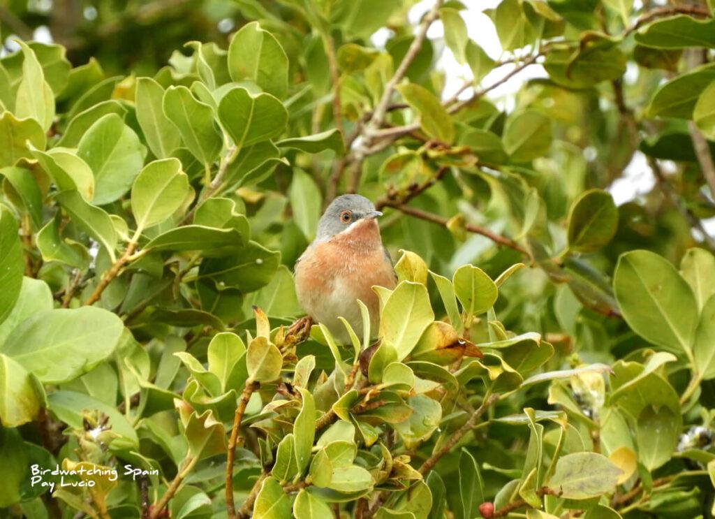 birding tour strait of Gibraltar-Subalpine Warbler