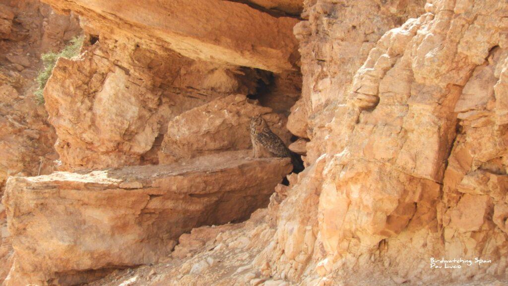 Búho del Desierto-Viaje de observación de aves en Marruecos