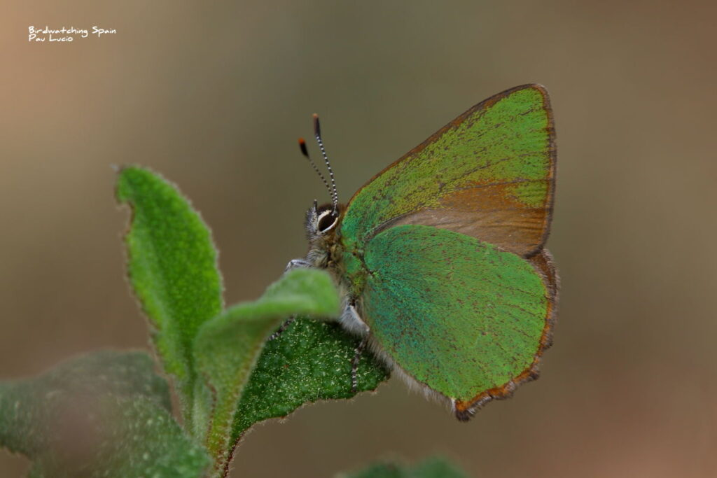 Green hairstreak buttefly