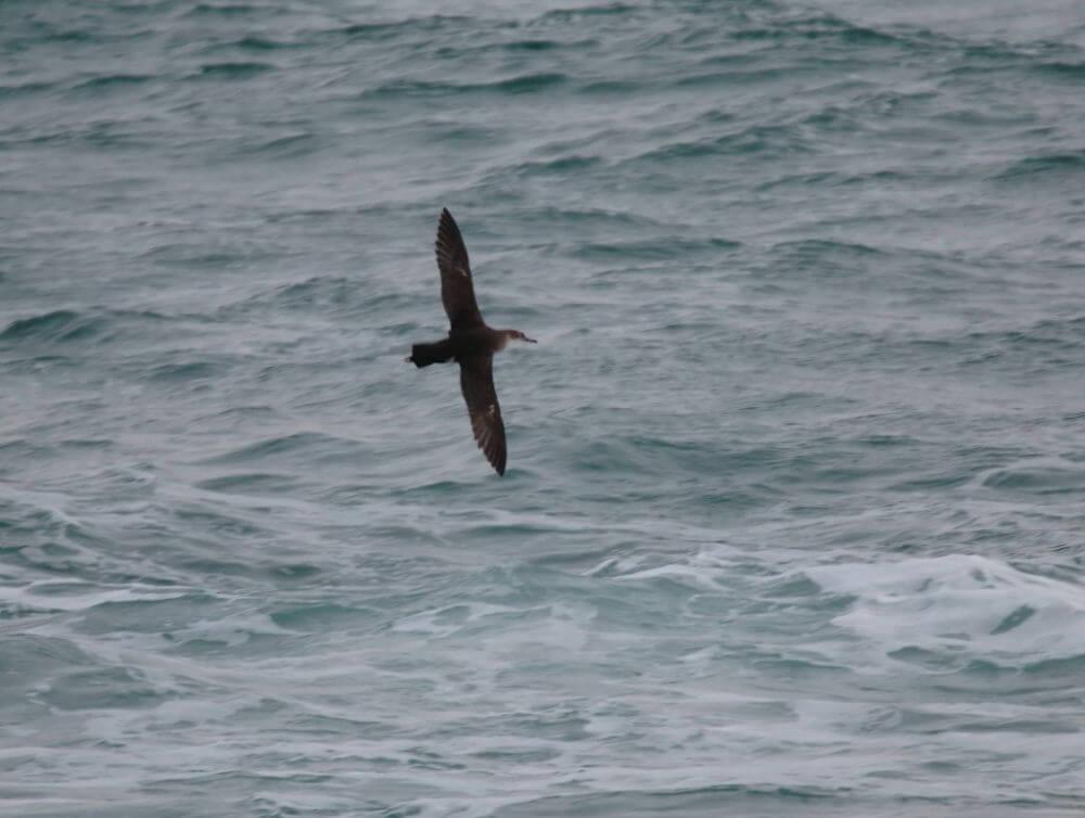 observación de aves en la albufera-pardela balear