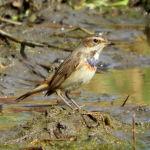 Pechiazul-observación de aves en la albufera de Valencia