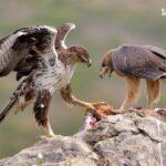 Aguila perdicera-observar aves en Gandia