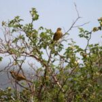 Wildlife report Cantabrian mountains-Cirl Bunting
