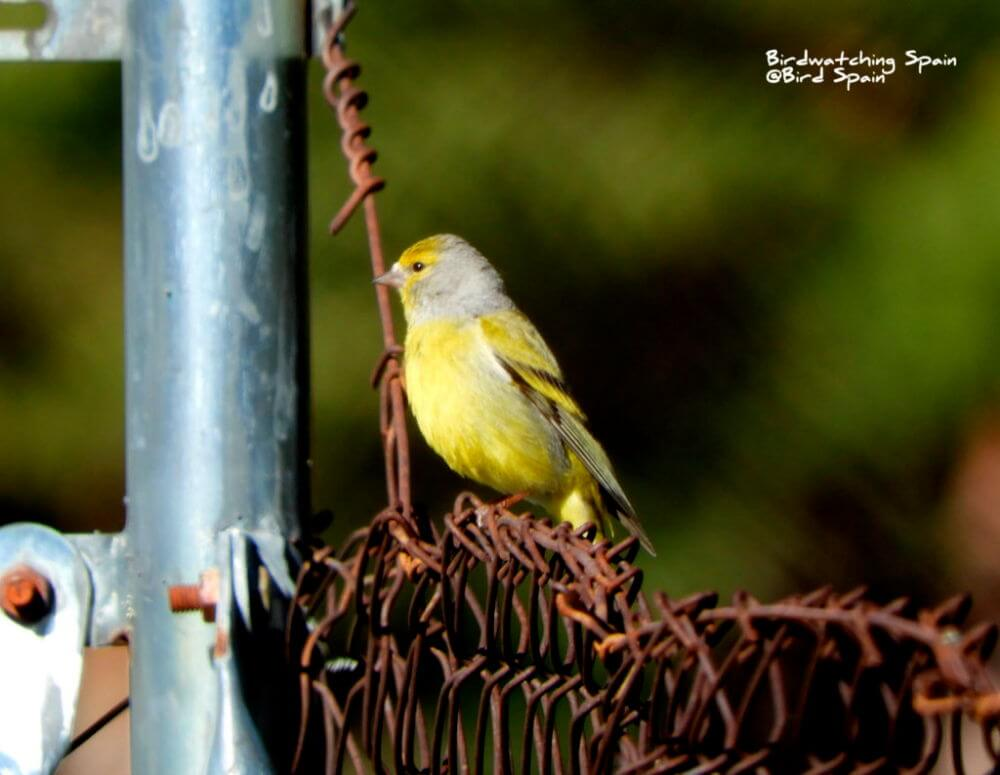 Citril Finch-Pyrenees bird watching trip