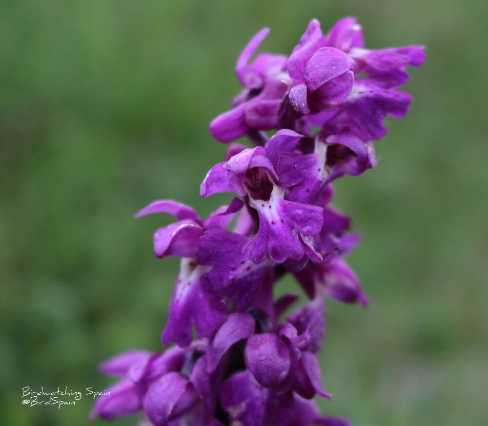 Early-purple-orchid