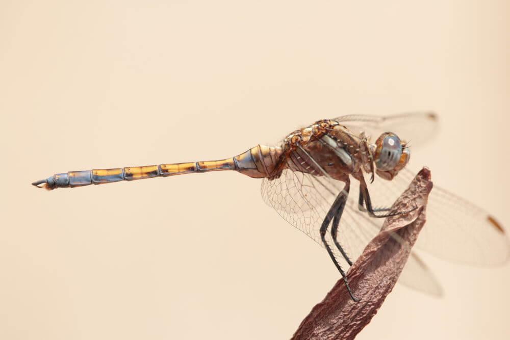 Epaulet-skimmer-dragonflies-tours