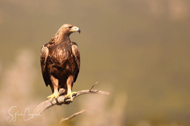 Golden Eagle photography hide Spain