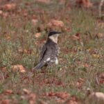 Great spotted cuckoo-birding report Doñana
