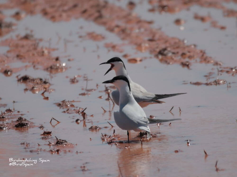 Gull-billed tern.birding Alicante