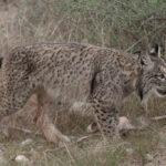 Iberian lynx trip report