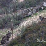 Iberian lynx holidays Andujar