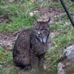 Iberian lynx holidays