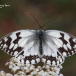 Iberian Marbled White-wildlife cantabrian mountains