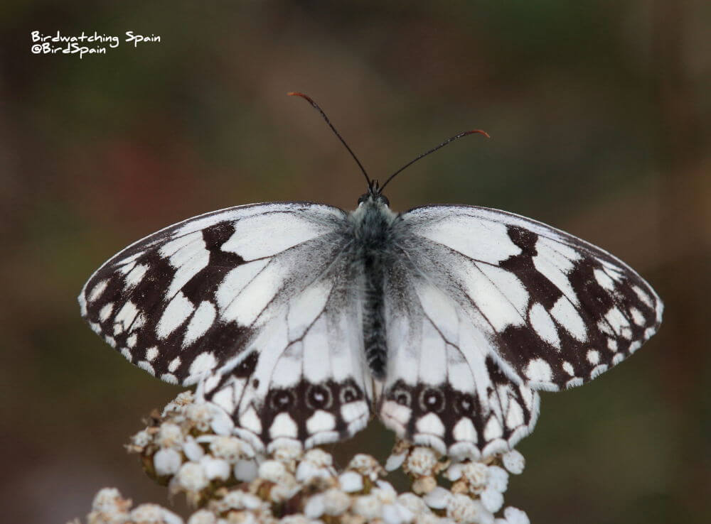 Iberian Marbled White in Granada