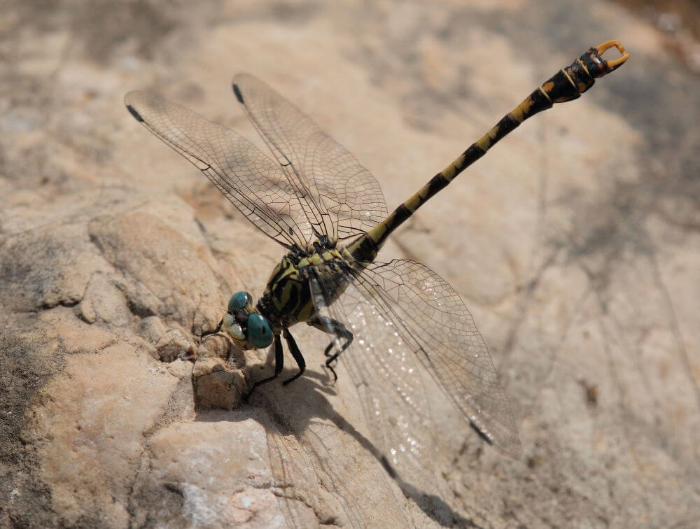 Large-pincertail-dragonfly tour Spain