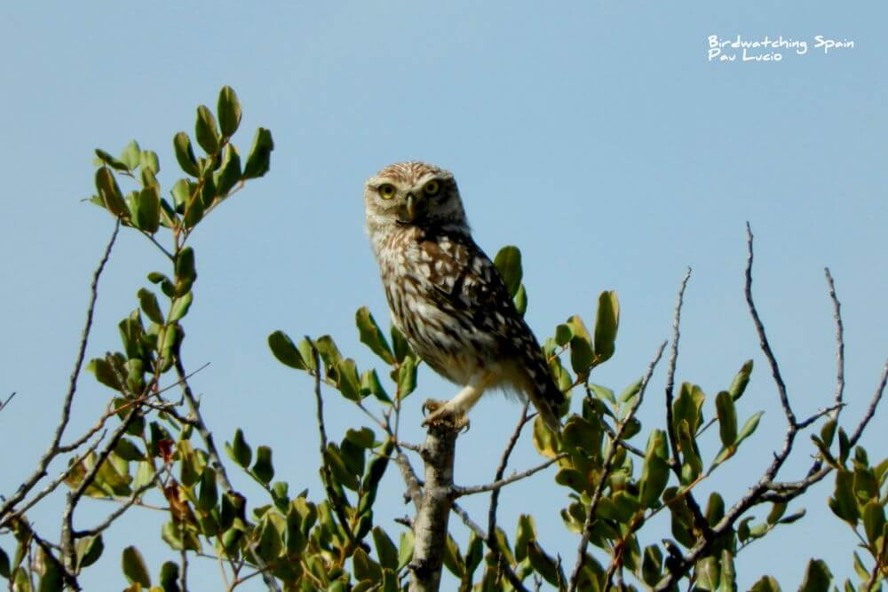 Lottle Owl in la mancha