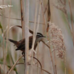 Moustached warbler-bird watching trip valencia