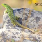 Ocellated Lizard-Birdwatching trip report La Mancha