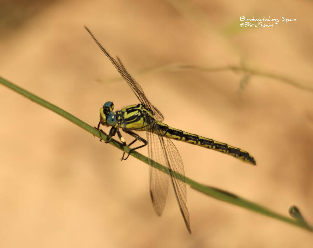 Pronged-clubtail-dragonfly-tour-Spain