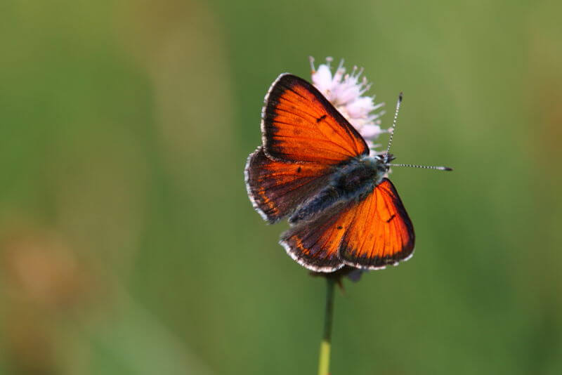Purple-edged-copper butterfly in Picos