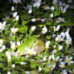 Stripeless Tree Frog-Extremadura Wildlife trip report