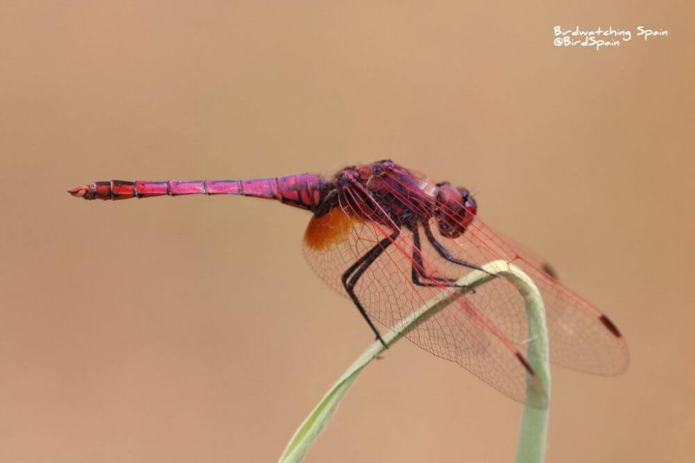 Violet-dropwing-dragonfly-tours-Spain
