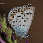 Idas blue-butterflies in Sierra Nevada