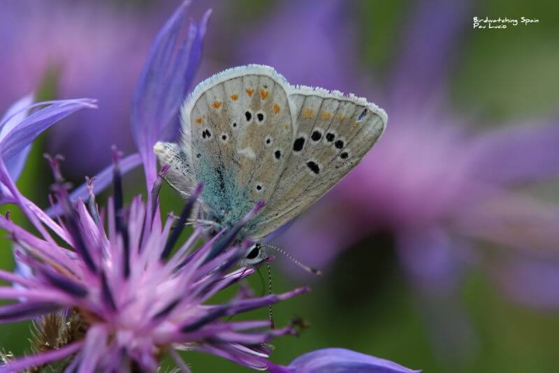 Wildlife report Cantabrian Mountains-turquoise blue