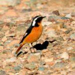 Colirrojo diademado-Crónica del viaje ornitológico a Marruecos