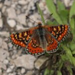 Spanish Fritillary-butterflies Alicante Mountains