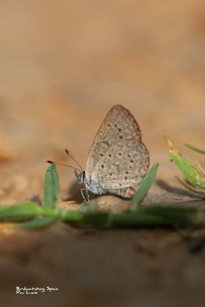 African grass blue butterfly in Valencia