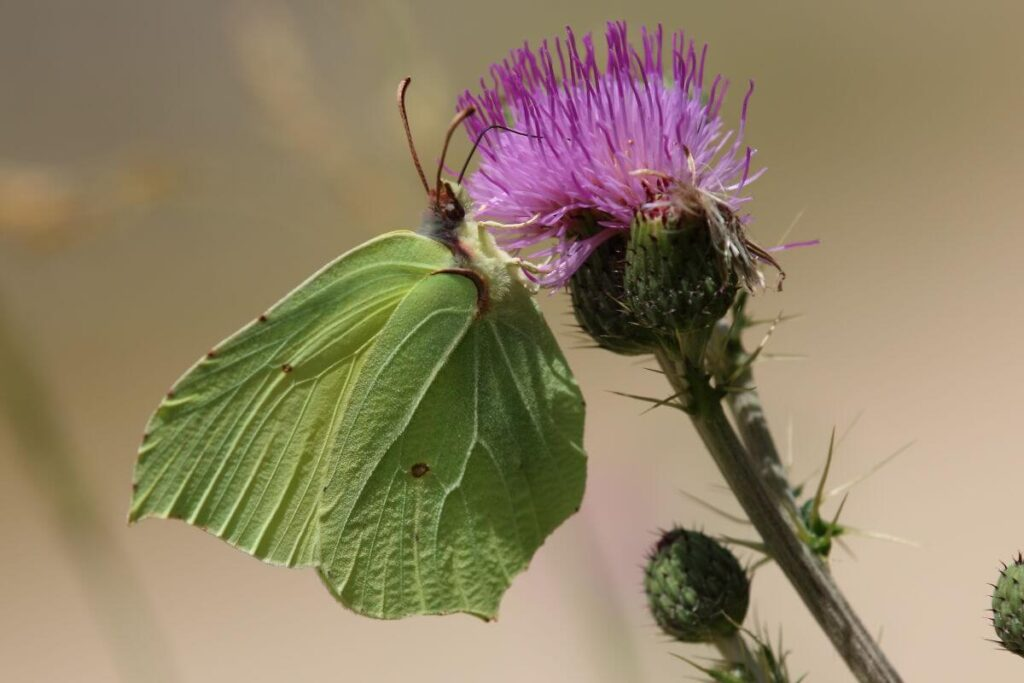 Brimstone butterfly Spain