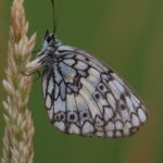 Butterflies in Montes Universales-Esper's Marbled White