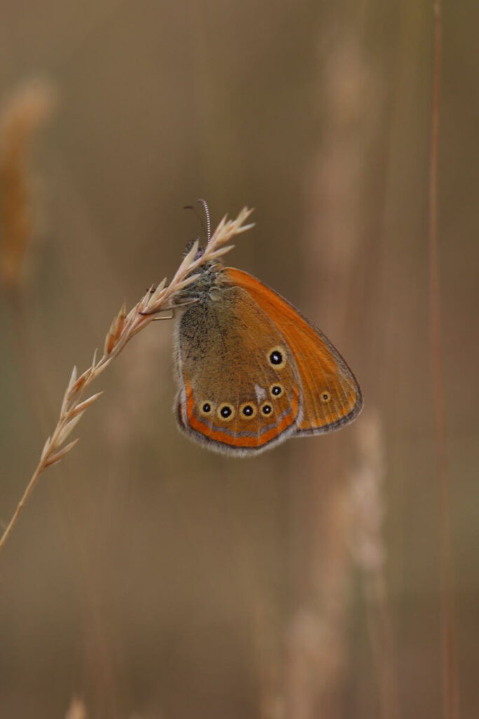 Spanish chesnut heath-butterflies in Montes Universales