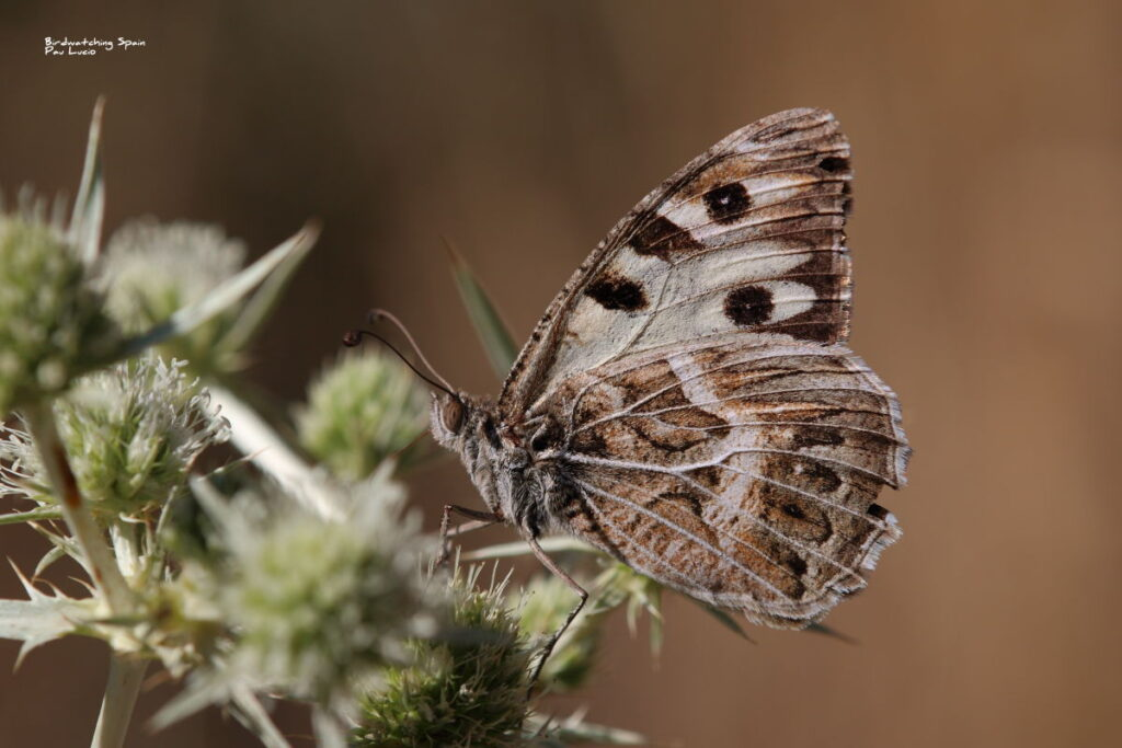 Southern Hermit-butterflies tours in Spain