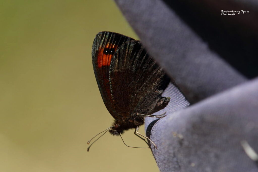 Zapater's ringlet-butterflies in Montes Universales